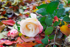 Beautiful white rose among the yellow autumn leaves Royalty Free Stock Image