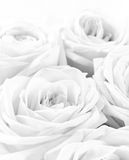 Beautiful white roses as wedding background. Soft focus. In blac Royalty Free Stock Photography
