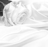 Beautiful white roses in black and white Royalty Free Stock Images