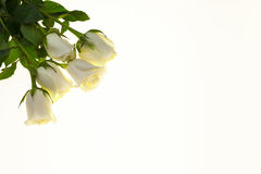 Beautiful white roses in the bouquet, background for wedding cards, greeting card for birthday. Stock Image