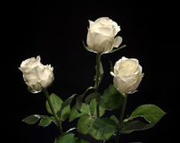 Beautiful white roses Stock Image