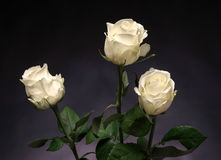 Beautiful white roses Royalty Free Stock Photo