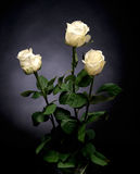 Beautiful white roses Royalty Free Stock Image