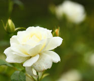 Beautiful white roses Stock Images