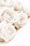 Beautiful white roses. Soft focus. Sepia Stock Photo