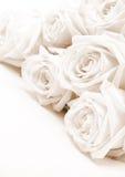 Beautiful white roses. Soft focus. Sepia Stock Image