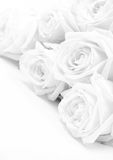 Beautiful white roses. Soft focus. Sepia Stock Images