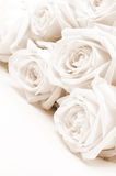 Beautiful white roses. Soft focus. Sepia Royalty Free Stock Image