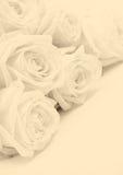 Beautiful white roses. Soft focus. In Sepia toned. Retro style Stock Photos