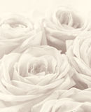 Beautiful white roses toned in sepia as wedding background. Sof Stock Images