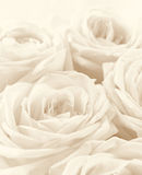 Beautiful white roses toned in sepia as wedding background. Sof Royalty Free Stock Photography