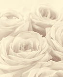 Beautiful white roses toned in sepia as wedding background. Sof Stock Photos