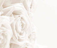 Beautiful white roses toned in sepia as wedding background. Soft Royalty Free Stock Images