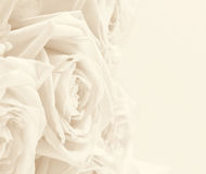 Beautiful white roses toned in sepia as wedding background. Soft Stock Image