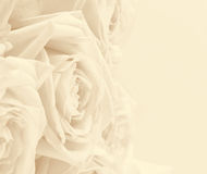 Beautiful white roses toned in sepia as wedding background. Soft Royalty Free Stock Image