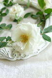 Beautiful white roses ,vintage frames and background of velvet Royalty Free Stock Image