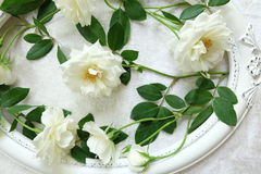 Beautiful white roses ,vintage frames and background of velvet Royalty Free Stock Photos