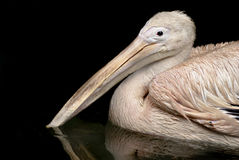 Beautiful white rosy Pelican Royalty Free Stock Photography
