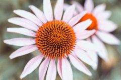 White rudbeckia with orange heart on a green background close-up stock image