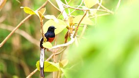 Beautiful White-rumped Shama perching on branch of a tree
