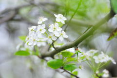 Beautiful white Sakura flowers Stock Photography