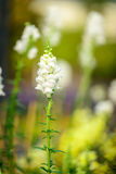 Beautiful white salvia flowers blooming in the garden Royalty Free Stock Photos