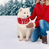 Beautiful white Samoyed dog in cold winter dressed red scarf royalty free stock photo