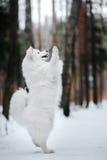 Beautiful white Samoyed dog Stock Photos