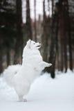 Beautiful white Samoyed dog Royalty Free Stock Images