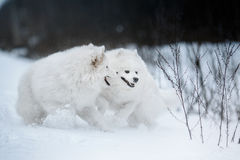 Beautiful white Samoyed dog Stock Photo