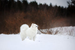 Beautiful white Samoyed dog Stock Images