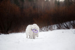 Beautiful white Samoyed dog Royalty Free Stock Image