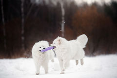 Beautiful white Samoyed dog Stock Photos