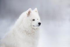 Beautiful white Samoyed dog Royalty Free Stock Photo