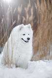 Beautiful white Samoyed dog Stock Photography