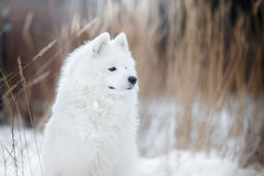 Beautiful white Samoyed dog Royalty Free Stock Photos