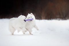 Beautiful white Samoyed dog Stock Image