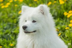 Portrait of a young puppy Samoyed dog outdoors Royalty Free Stock Photos