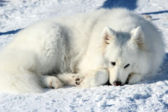 Beautiful white Samoyed lying in the snow Royalty Free Stock Photo
