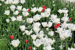 Beautiful white and scarlet tulips in spring sunny day blooming for our joy royalty free stock photo