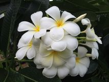 Beautiful white scented blooms with yellow centers of exotic Royalty Free Stock Photo