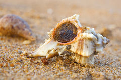 sea shell on sand background Royalty Free Stock Photos