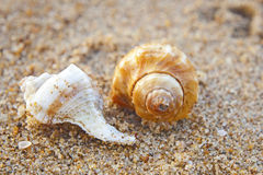 Sea shell on sand background Royalty Free Stock Photo