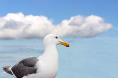 Beautiful white seagull Stock Photos