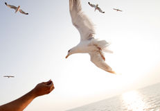 Beautiful white seagull Stock Photo