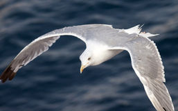 Beautiful white seagull Royalty Free Stock Photos