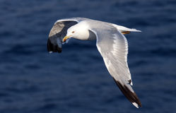Beautiful white seagull Royalty Free Stock Photo