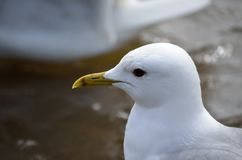 Beautiful white seagull close up. Head photo royalty free stock image