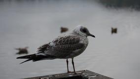 Beautiful white seagull in late summer closeup video stock video
