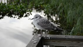 Beautiful white seagull in late summer closeup video with calm pond water stock video footage